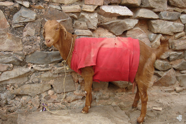 Sweater wearing goat