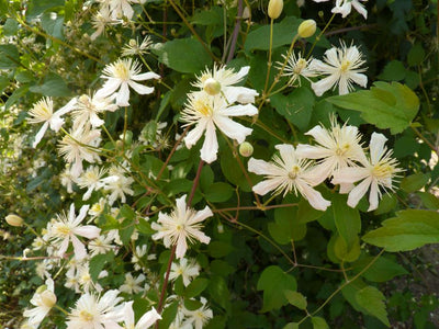 Clematis Paul Farge