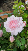 Strawberry Hill (AUSrimini) Climbing/Shrub Rose