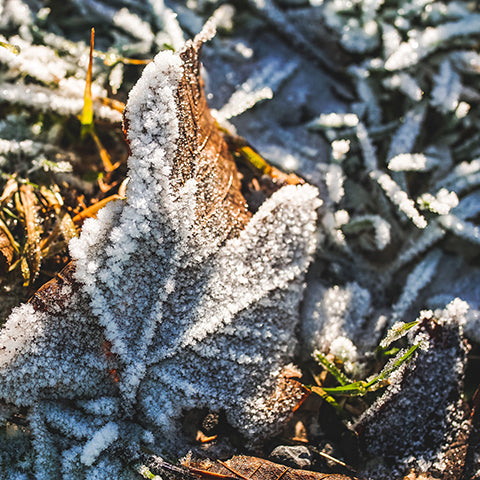 Fallen leaves with winter frost