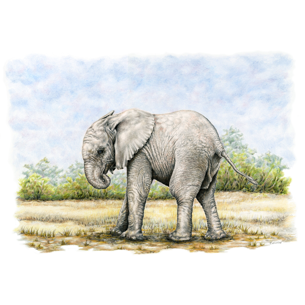 Baby Elephant - Framed Original Drawing