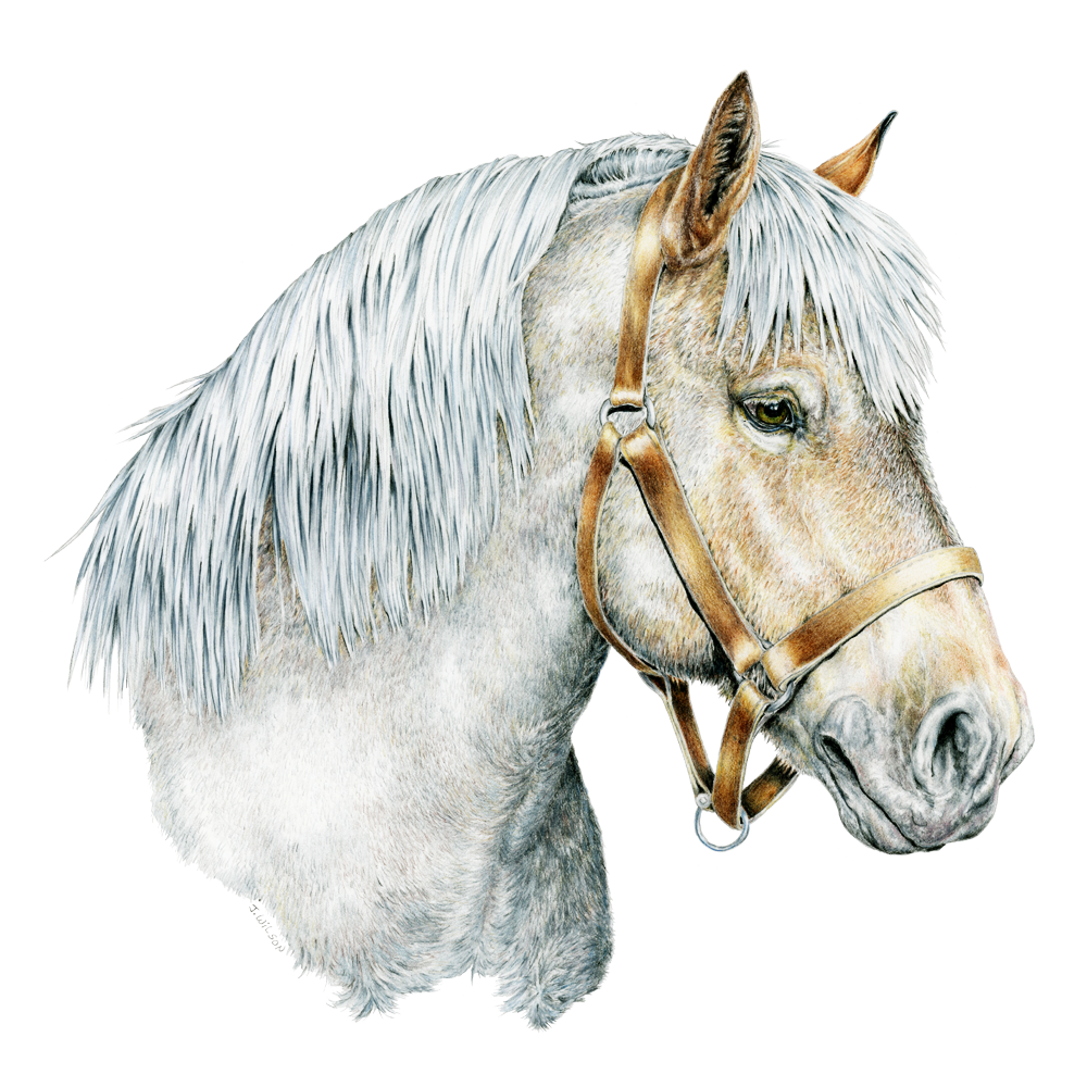Belgian Draft Horse Limited-Edition Print