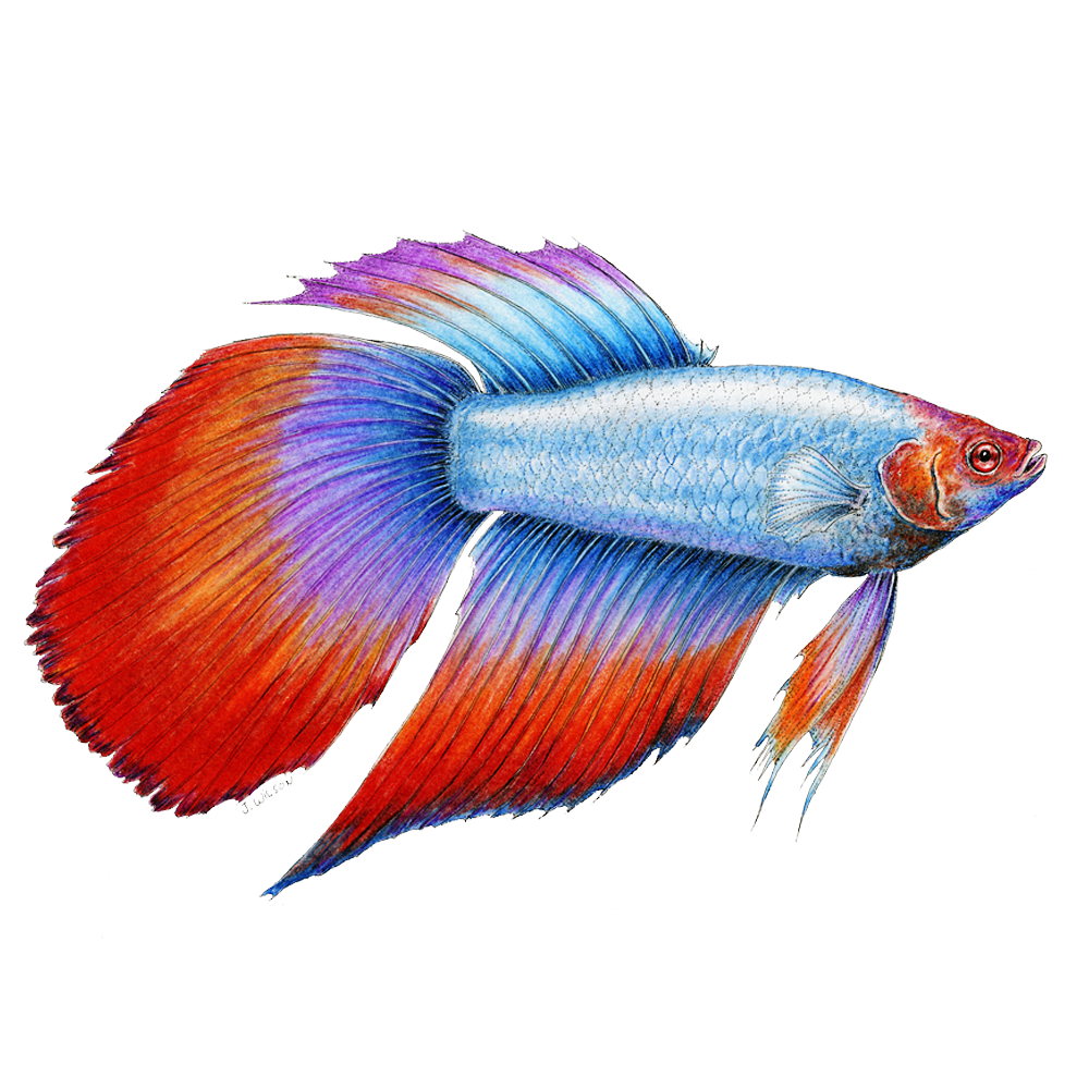 Beta Fish Limited-Edition Print