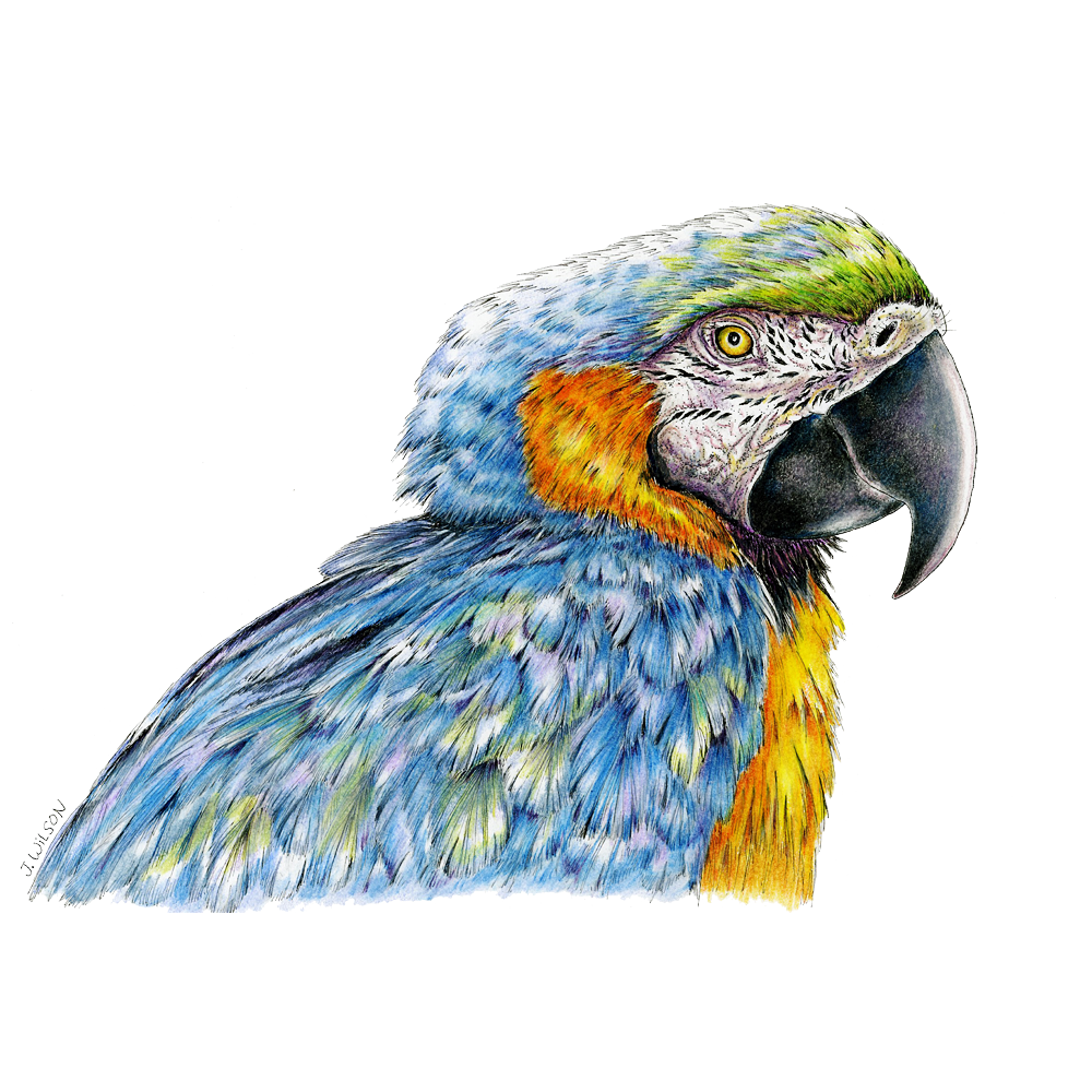 Blue and Gold Macaw Limited-Edition Print