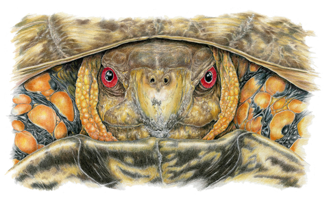 Male Box Turtle-Limited Edition Print