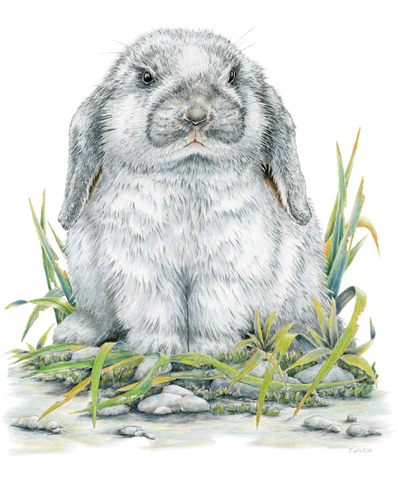 Flop eared Rabbit Limited-Edition Print