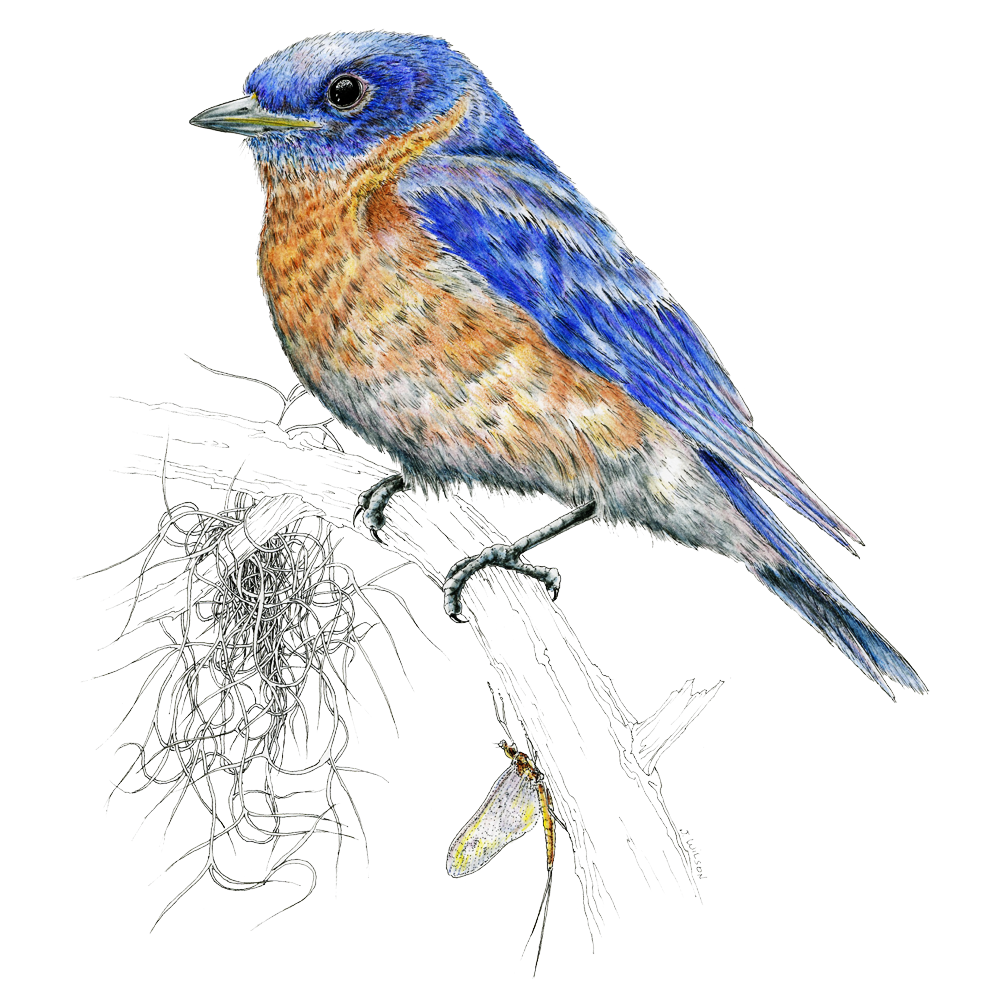 Eastern Bluebird Limited-Edition Print