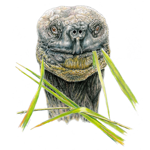 Galapagos Tortoise Face Limited-Edition Print