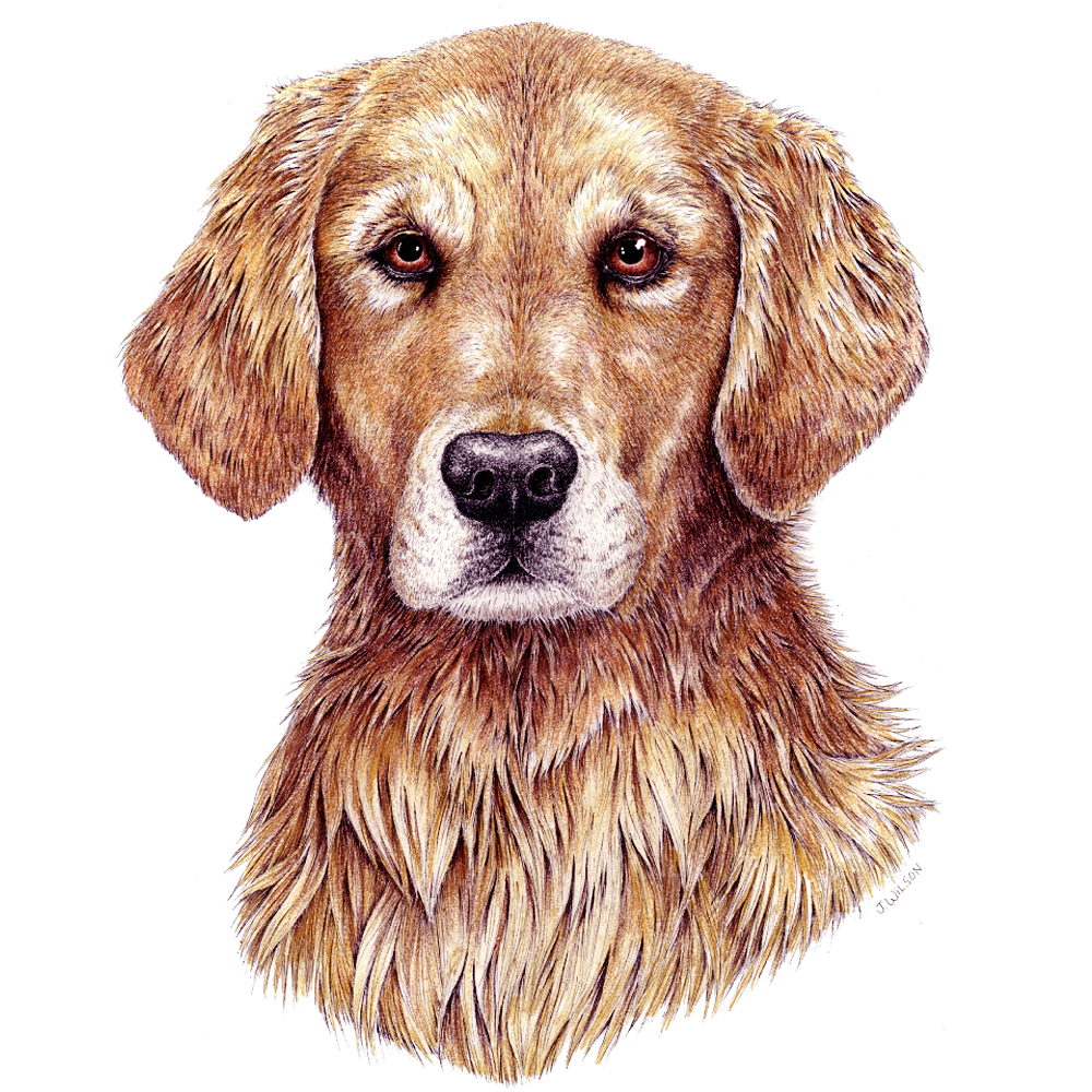 Golden Retriever Limited-Edition Print
