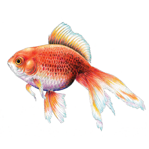 Goldfish Limited-Edition Print