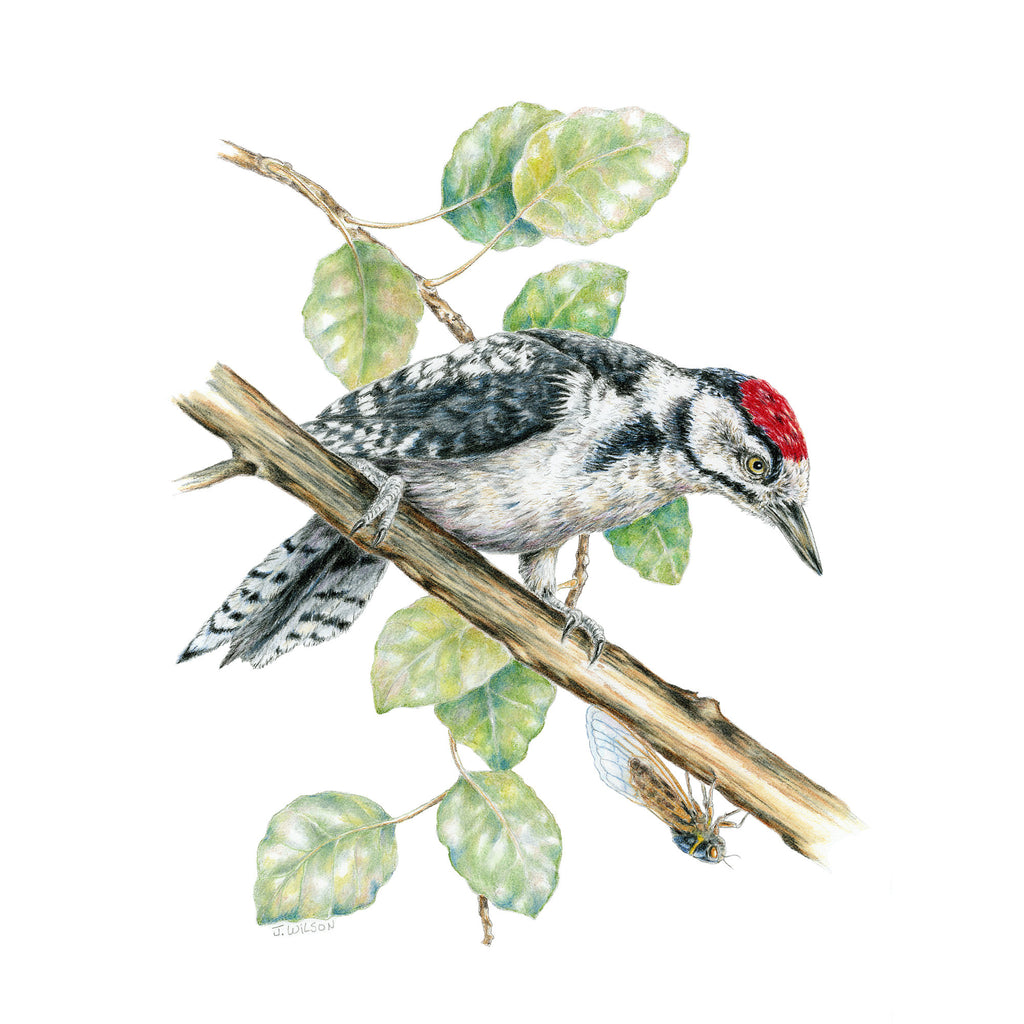 Great Spotted Woodpecker - Framed Original Drawing