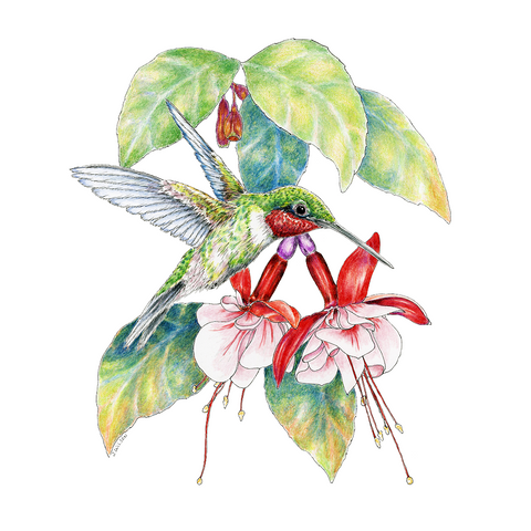 Hummingbird with Fuchsia Limited-Edition Print