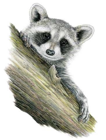 Raccoon Limited-Edition Print