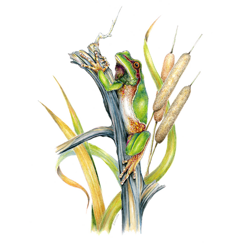 Pine Barrens Tree Frog Limited-Edition Print