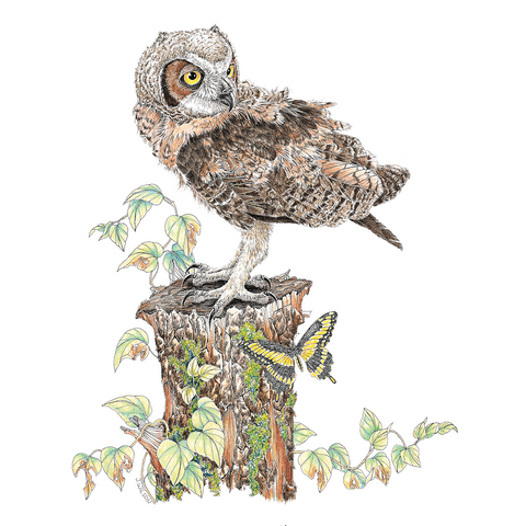Young Great Horned Owl Limited-Edition Print