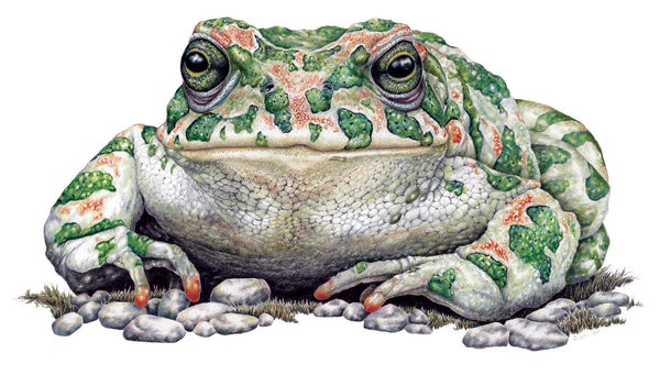Green Toad- Framed Original Drawing