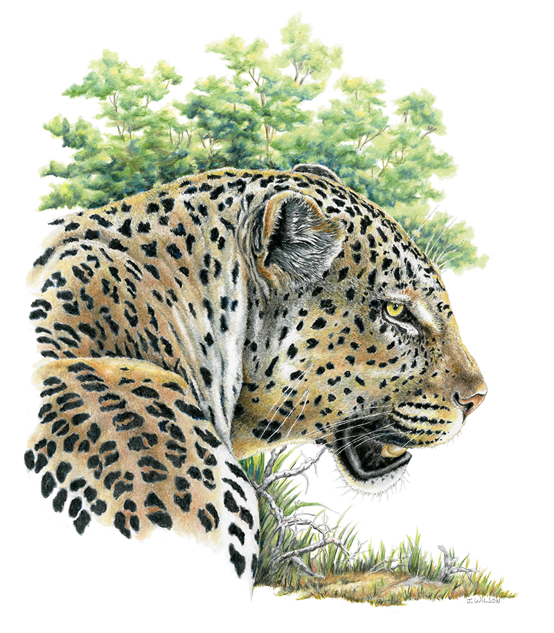 Leopard glancing, Limited-Edition Print