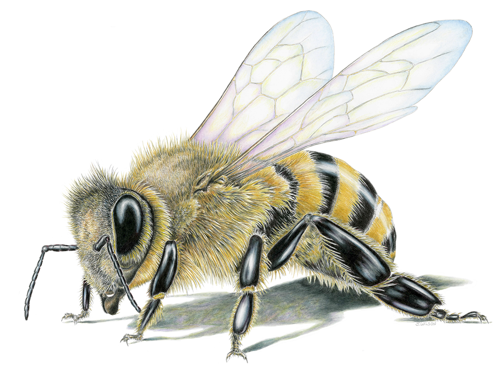 Honey Bee- Framed Original Drawing