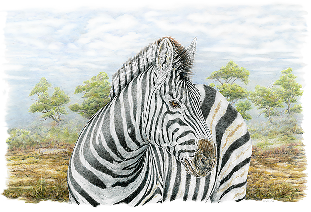Zebra- Framed Original Drawing