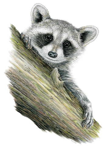Raccoon Framed Original Drawing