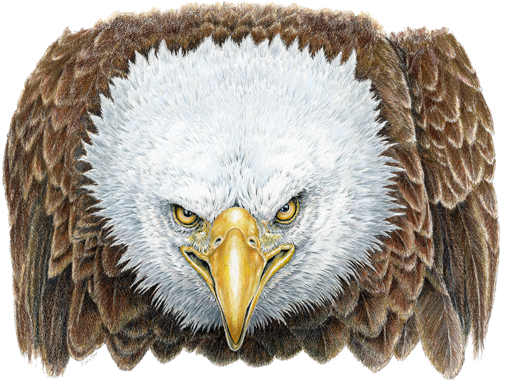 Angry Bald Eagle, Limited-Edition Print
