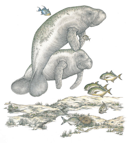 Two Manatees,  Limited-Edition Print
