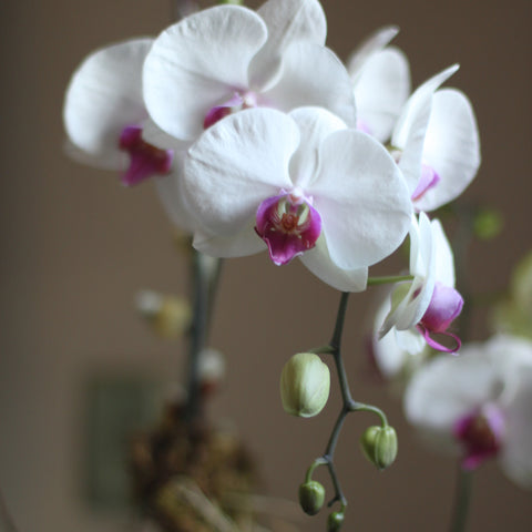 potted orchids delivered by sewickley florist
