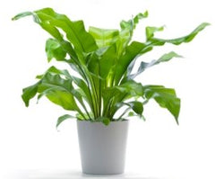 birds nest fern from cuttings' plant collection