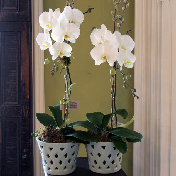 send potted orchid by cuttings in sewickley pa
