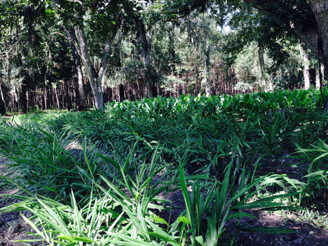 Ginger and Turmeric under the Live Oaks