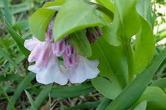 Mertensia virginica, Virginia Bluebells
