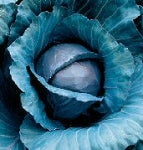 Cabbage - Red - Organic