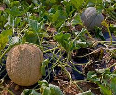 Cantaloupe (single plant, organic)