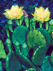 Opuntia humifusa, Eastern Prickly Pear