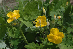 Stylophorum diphyllum, Yellow Poppy