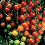 Cherry Tomatoes - Super Sweet 100 - Organic