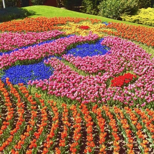 a beautiful image colored flowers at kuekenhof in holland.