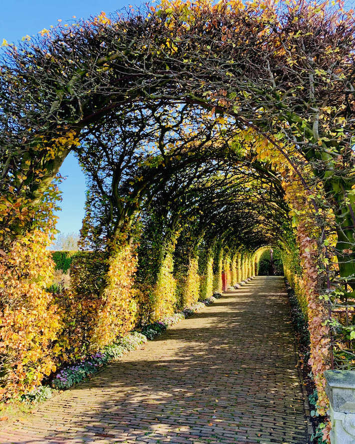 image of the beech tunnel hedges during fall at Muiderslot Castle in Holland