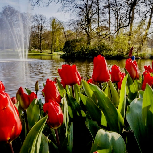 an image of red tulips in the netherlands