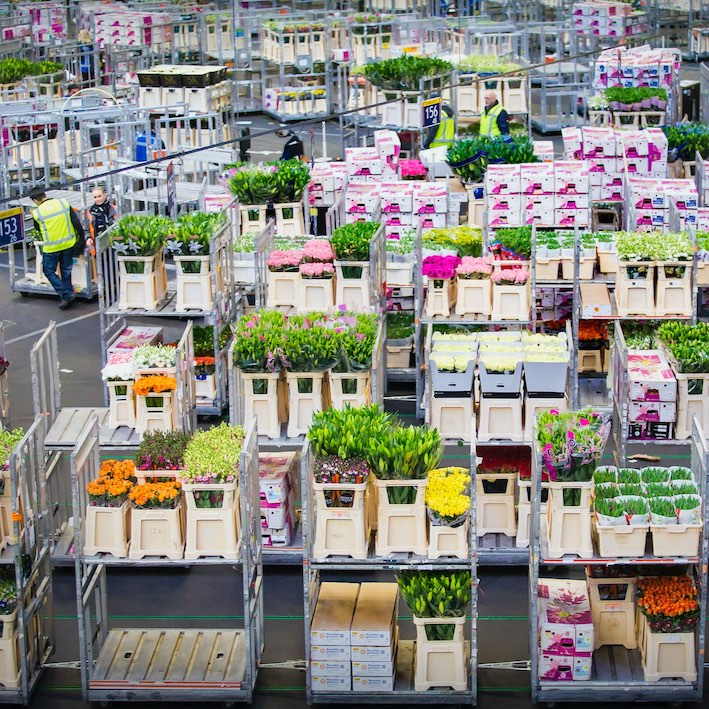 the flower processing hall of royalflora holland with tulip tours