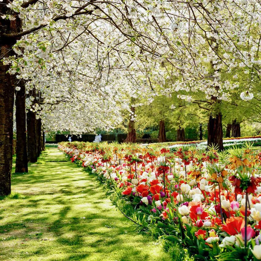 colorful flowers in the meadows of Keukenhof tulip gardens