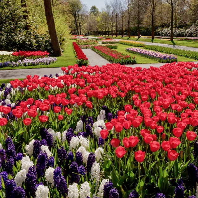 a public tour with tulip day tours to experience the marvelous spring flower fields with red tulips at Keukenhof tulip gardens