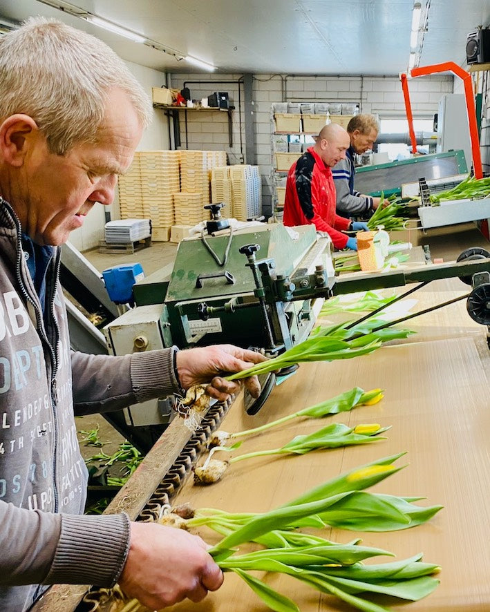 Image of tulip farmers sorting out tulips in a greenhouse in HOlland