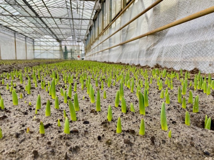 a image of baby tulips in a greenhouse in holland