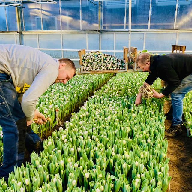 People on a private tour with Tulip Day Tours watch traditional tulip farmers picking tulips in their greenhouse in Holland