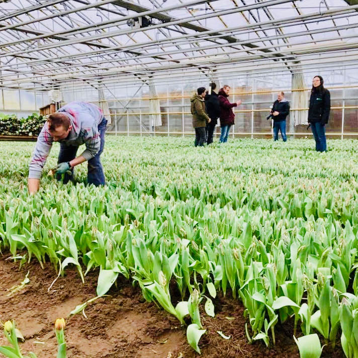 Image of workers in a tulip farm in holland