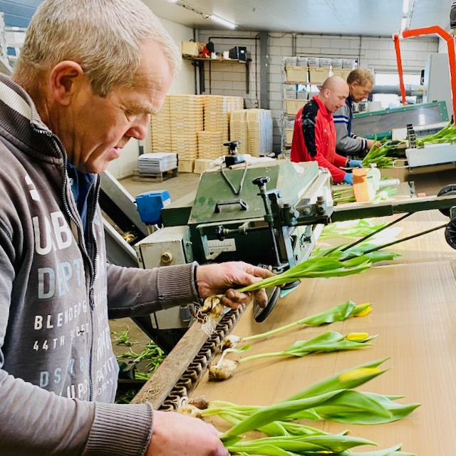 Tulip_Farmers_sorting_out_tulips_in_the_greenhouse_of_a_traditional_tulip_farm_in_Holland
