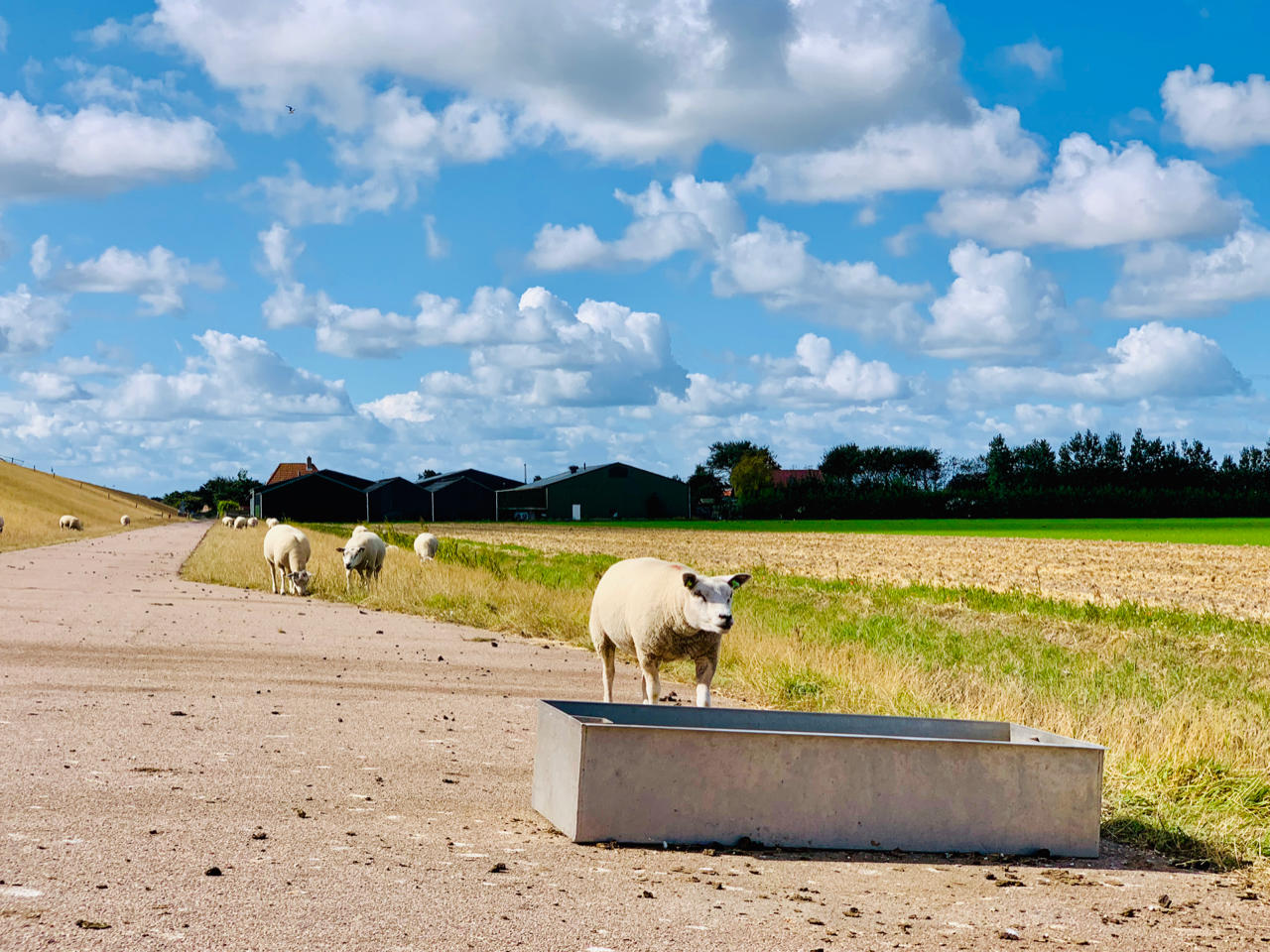 a beautiful image of sheep grazing on the Wadden Sea Dyke on the island of Texel