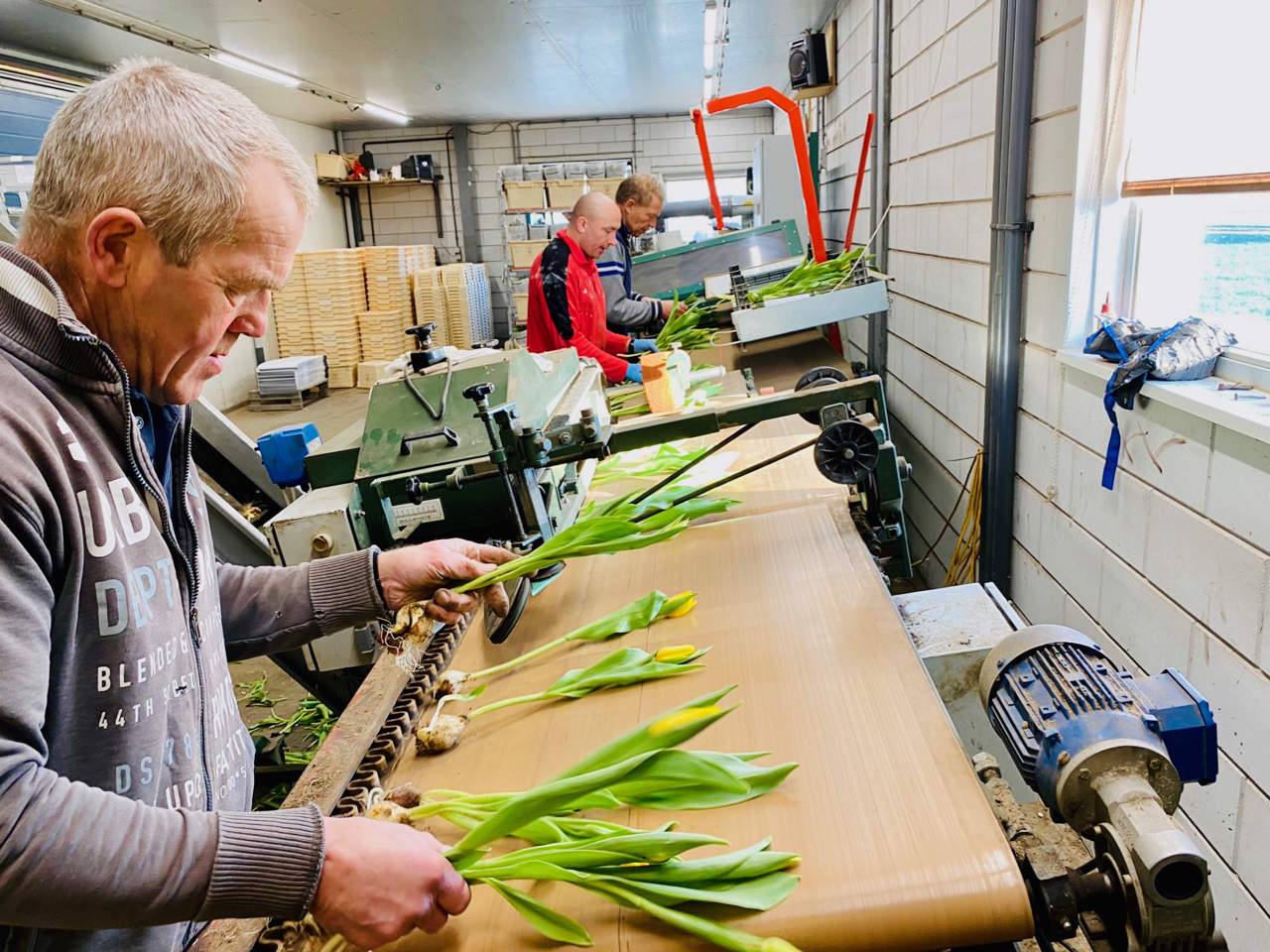 a Dutch farmer selecting tulips by hand in his tulip farm in Holland