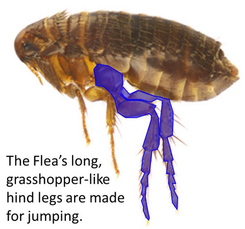 flea legs for jumping